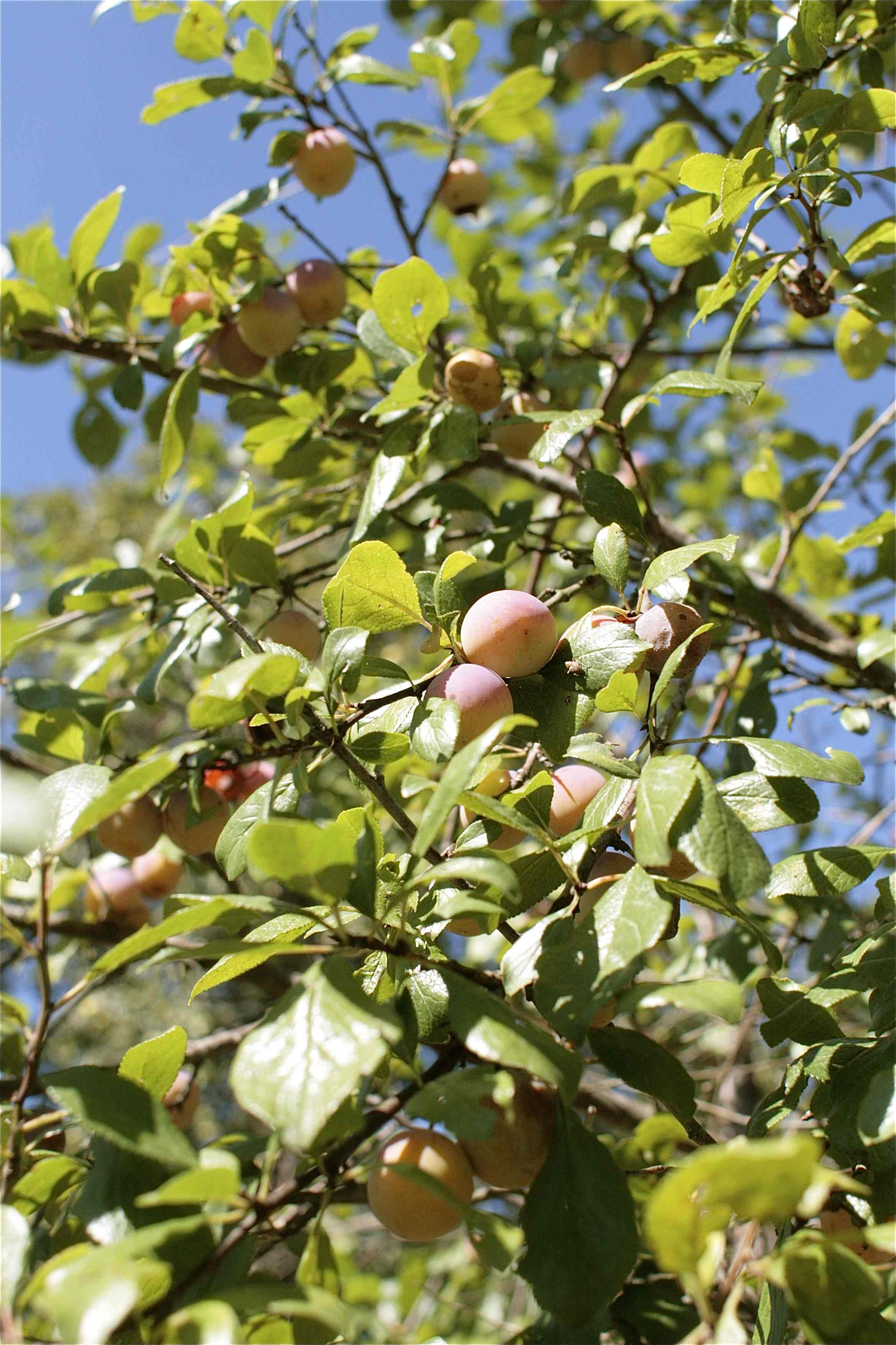 trees and three old but exceptionally fruitful pear trees and plenty ...