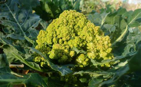 A nearly fully grown up Romanesco Cauliflower